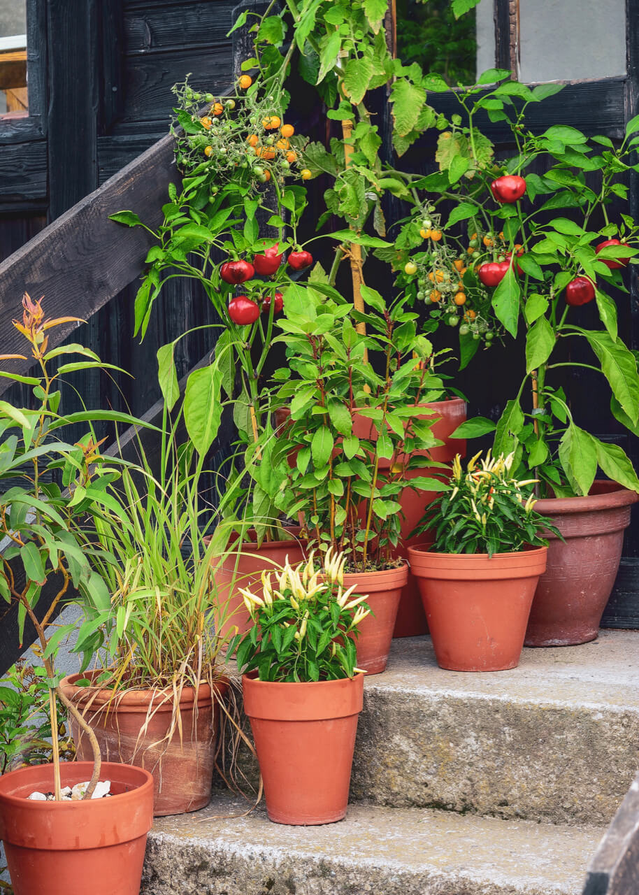 Vegetables growing in terracotta pots on steps outside a property.