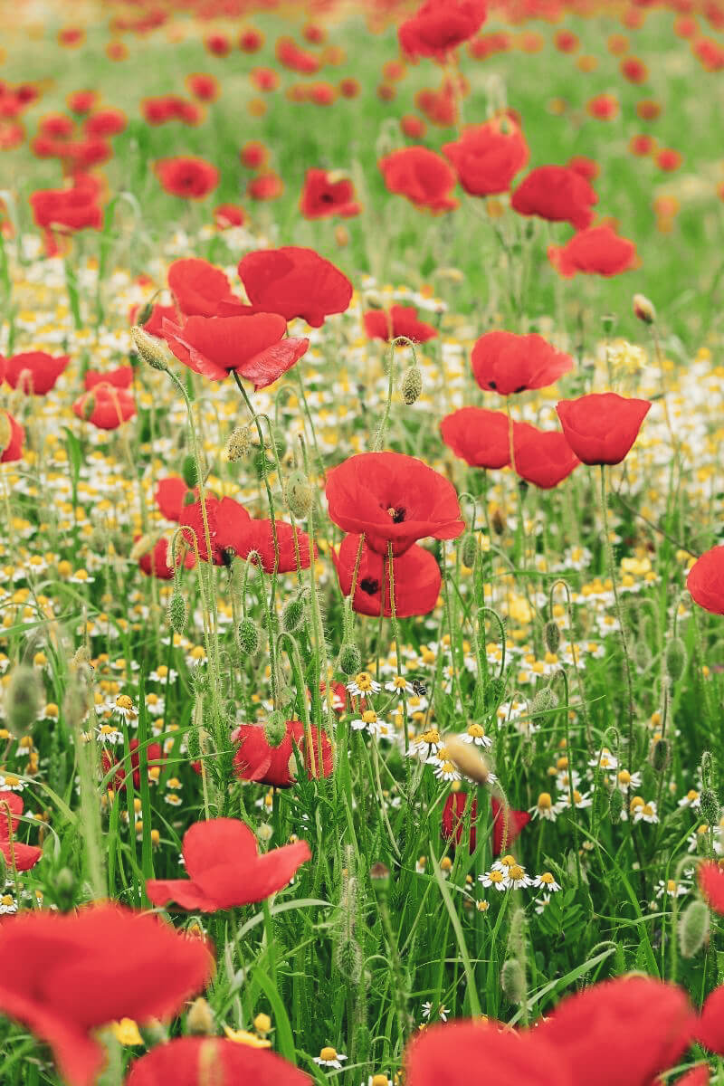 Poppies in a field of wildflowers. Save the Bees Eco Friendly Garden - spinthewindrose.com